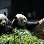 上野動物園双子パンダの公開日はいつ